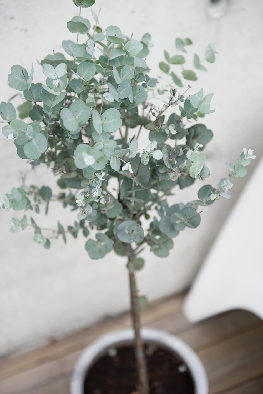 eucalyptus-stam